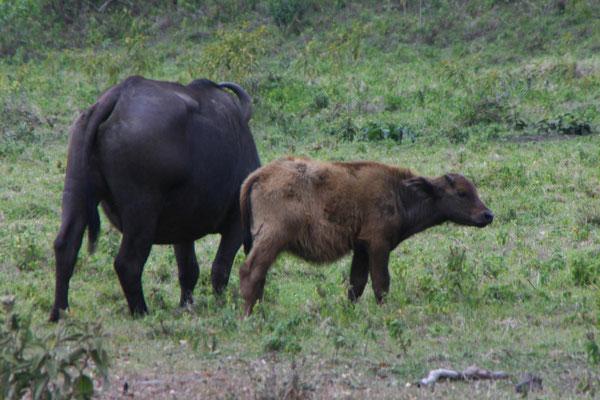 Büffel im Arusha NP / Buffalo in the Arusha NP