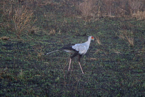 Sekretärvogel / Secretary bird