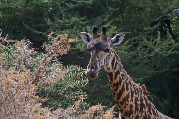 Giraffe im Manyara NP