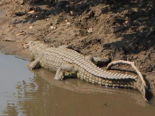 Krokodile / crocodiles
