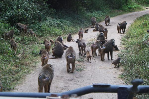 Paviane im Manyara NP