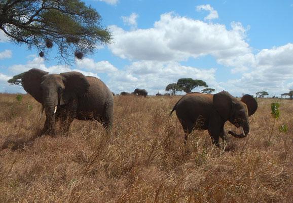 Elefanten im Tarangire