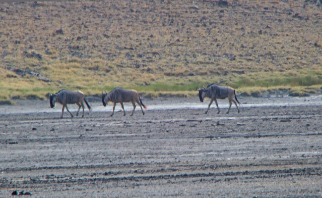 Gnus am Lake Natron / Gnus at the Lake Natron
