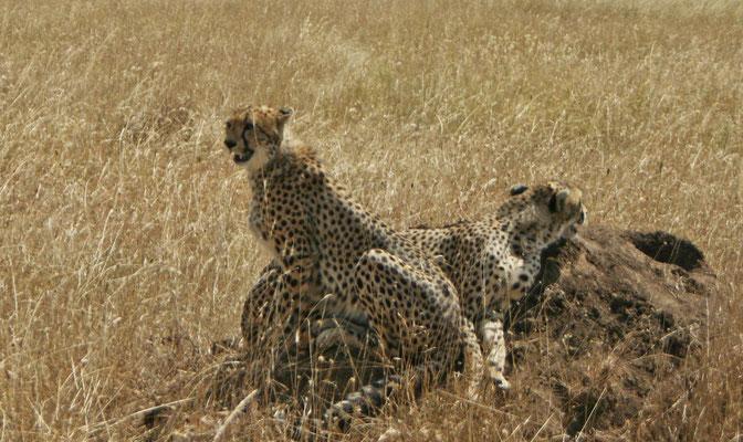Geparden in der Serengeti / Cheetahs in the serengeti