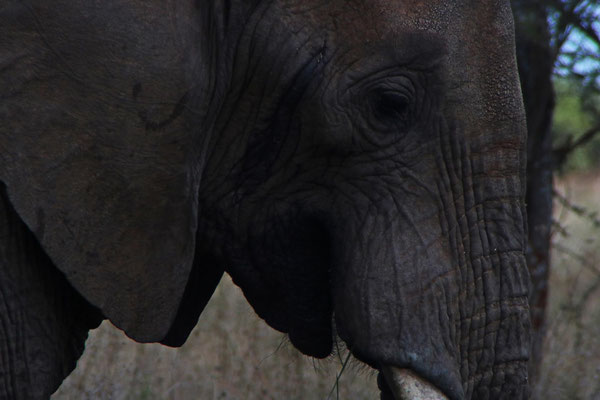 Elefantenkopf / Elephant head