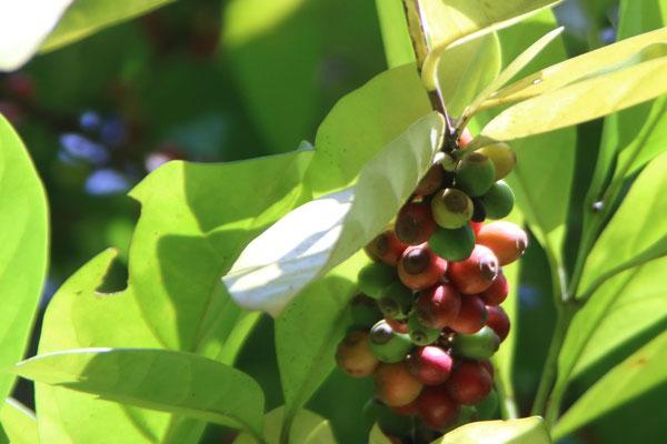 Gewürzfarm - Kaffee / spice farm
