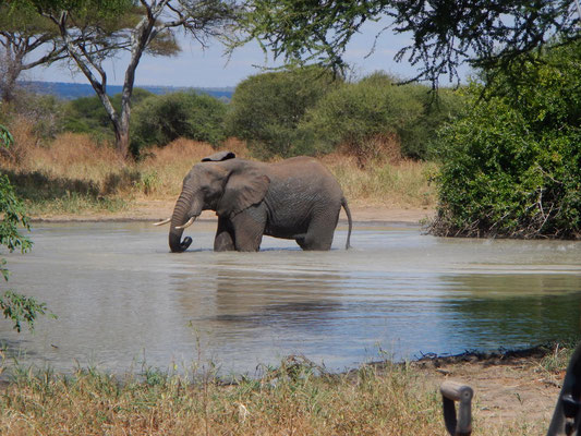 Elefant beim Baden im Tarangire NP / Elephant swimming in the Tarangire NP