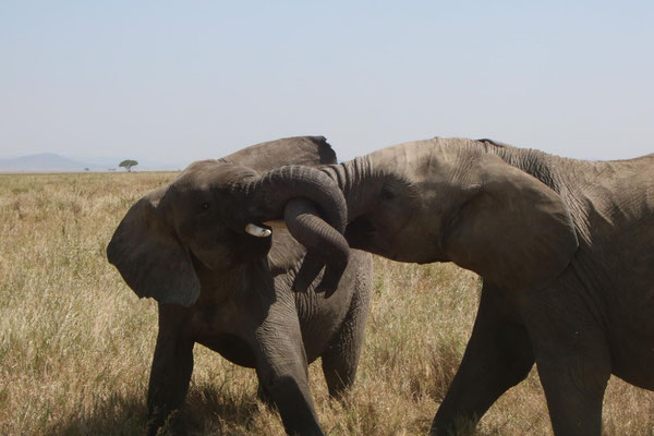liebende Elefanten / loving elephants