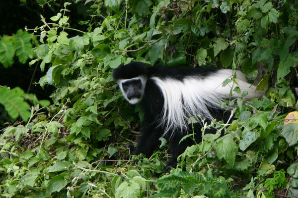 schwarz-weiß Colobus-Affe / black-white colobus monkey