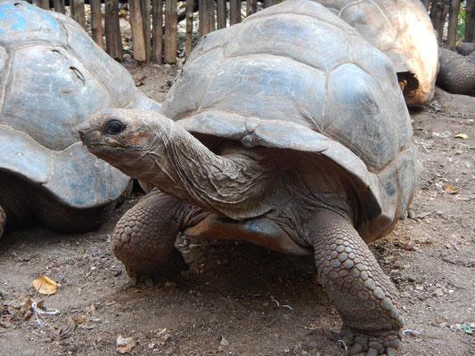 Riesenschildkröten auf Prison Island Sansibar / giant turtles on prison island Zanzibar