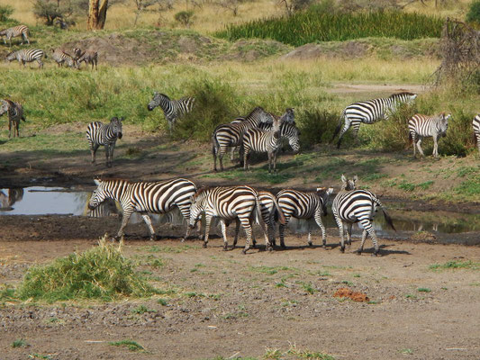 Zebras in der Serengeti / Zebras in the serengeti