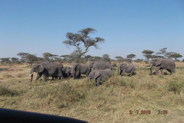 Elefantenherde in der Serengeti / elephants herd in the serengeti