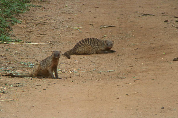 Mangusten im Manyara NP