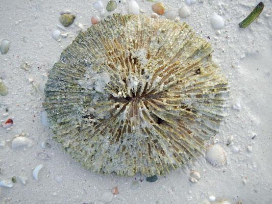 Steinkoralle / stone coral