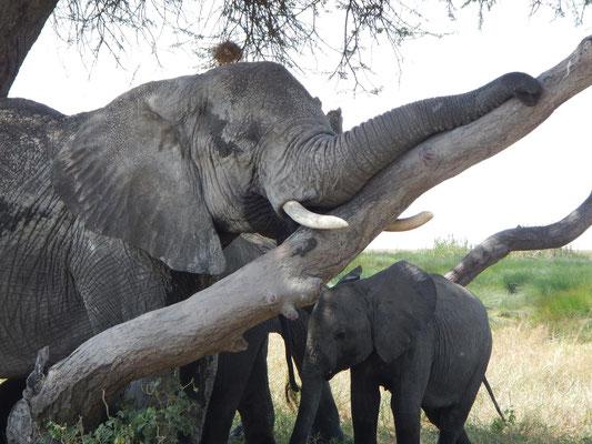 Elefanten in der Serengeti / Elephants in the serengeti