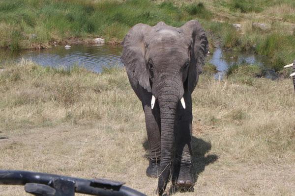 Elefant / Elephnant