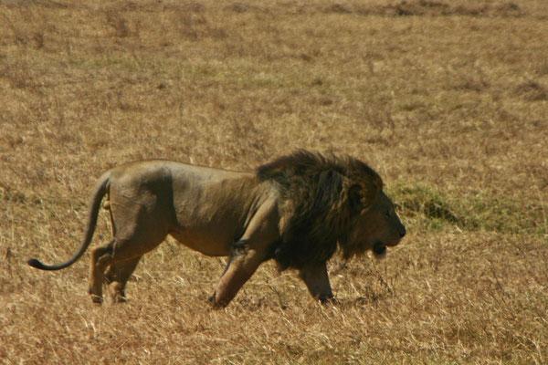 Löwe im Manyara NP / Lion in the Manyara NP