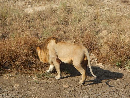 Löew in der Serengeti / Lion in the serengeti