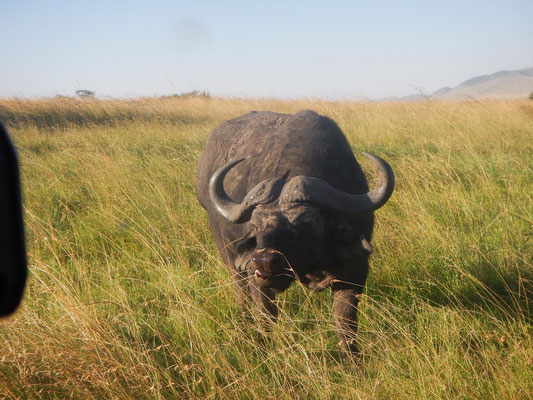 Büffel in der Serengeti / Buffalo in the serengeti