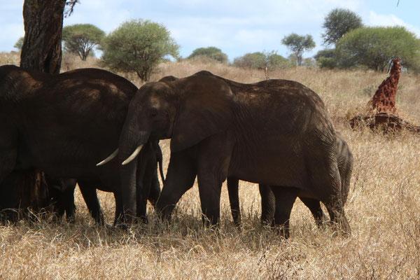 Elefantengruppe im Tarangire NP / Elephant group in Tarangire NP