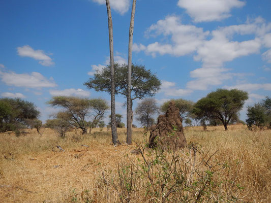Termitenhügel im Tarangire / Termites hill in Tarangire