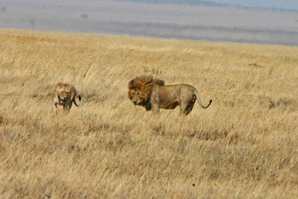 Löwen in der Serengeti / Lions in the serengeti