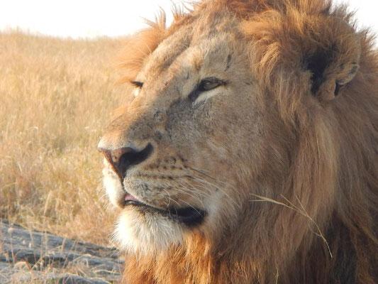Löwenkopf / Lion head