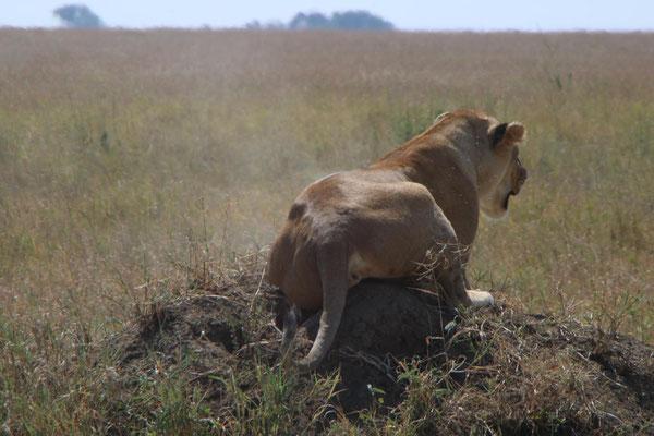 Löwe in der Serengeti / lion in the serengeti
