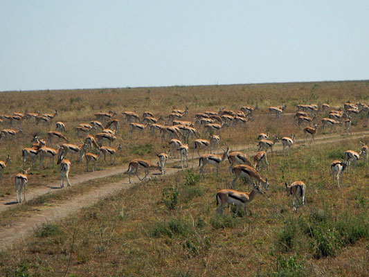 Thomson Gazellen in der Serengeti / Thomson gazelles in the serengeti