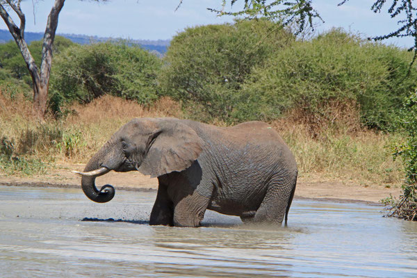Elefantenbad im Tarangire NP / Elephant bath in Tarangire NP