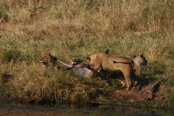 Löwen im Tarangire NP / Lions in Tarangire NP