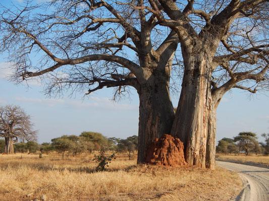Baobab mit Termitenhügel im Tarangire NP / Baobab with termites hill in Tarangire NP