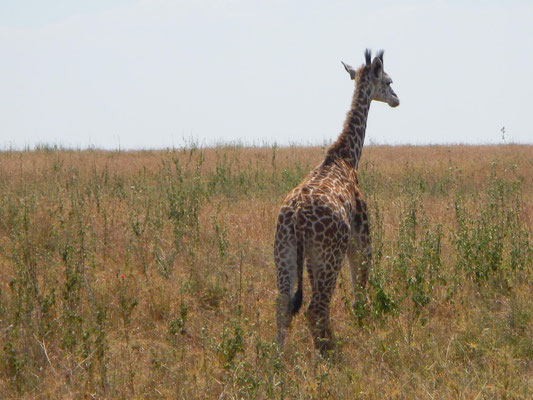 Giraffe in der Serengeti / Giraffe in the serengeti