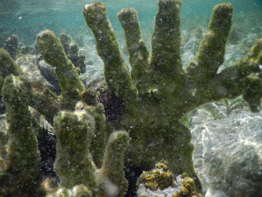 Korallen / coral