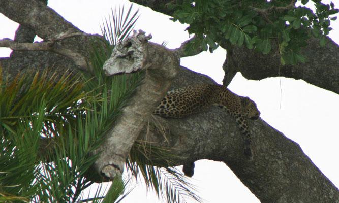 Lwopard in der Serengeti