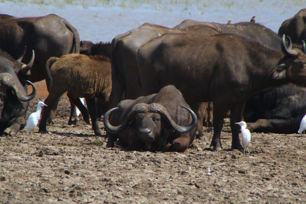 Büffel am Lake Manyara / Buffalo on the Lake Manyara