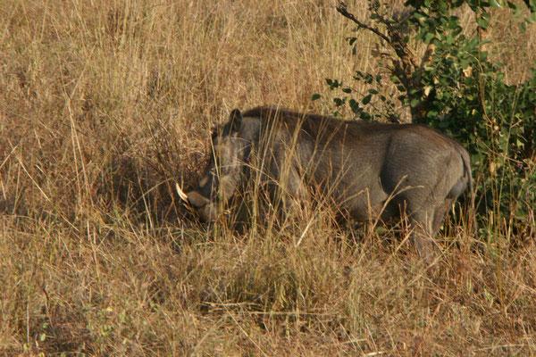Warzenschwein im Tarangire NP / Warthog in Tarangire NP
