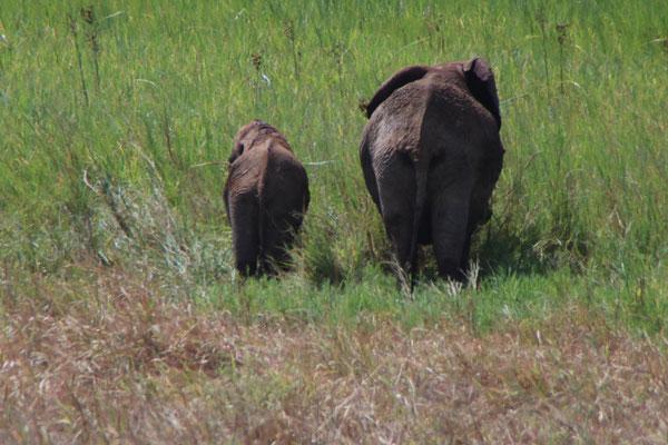 Elefanten im Tarangire NP / Elephants in Tarangire NP
