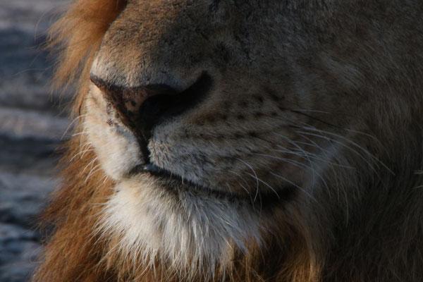 Löwennase / Lion nose