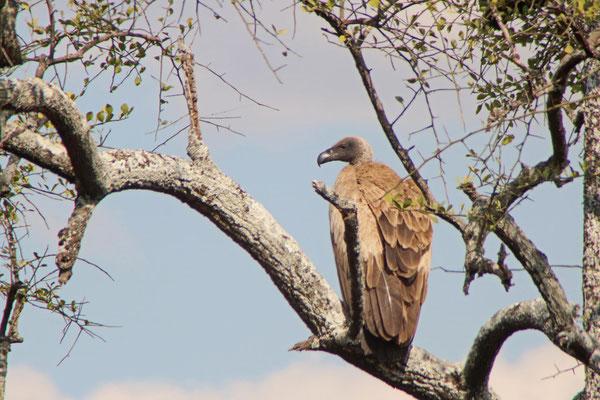 Geier im Tarangire NP / Vulture