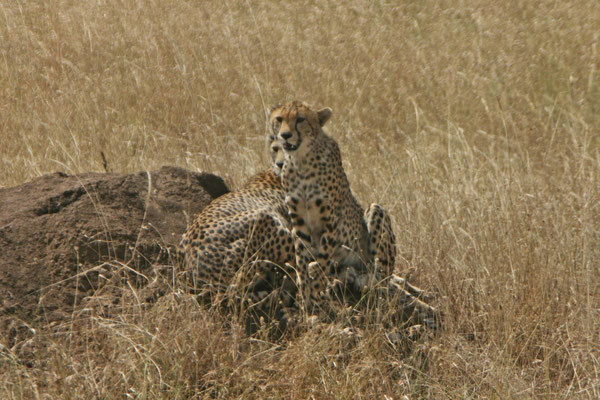 Geparden in the Serengeti / Cheetahs in the serengeti