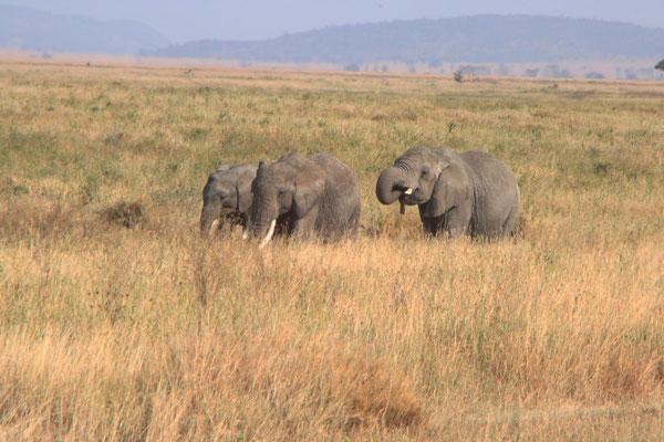Elefanten / Elephants