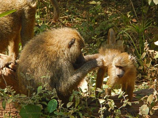Pavian im Manyara NP