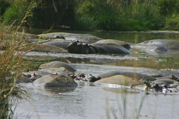Flusspferde in der serengeti / Hippos in the serengeti