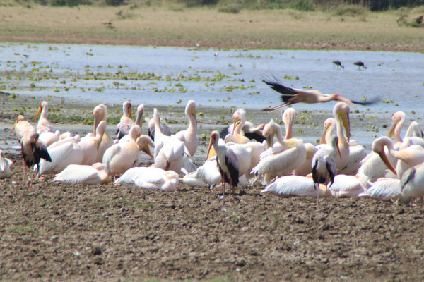 Pelikane am Lake Manyara / Pelicans on the Lake Manyara