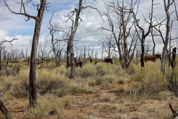 Ein paar Wildpferde streifen durch die Gegend