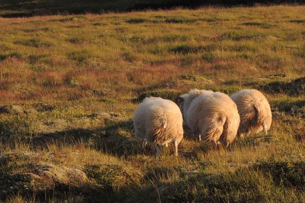 Windige Schafe...
