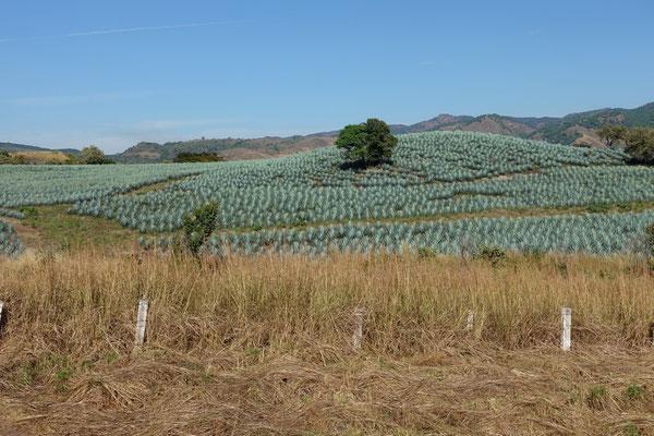 Agavenfelder...wir kommen ins Tequilaland