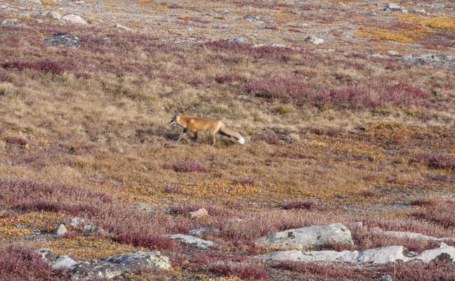 Der Fuchs ist auf Pirsch