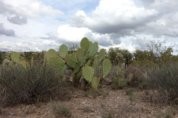 Verschiedene Kaktusse säumen den Weg